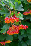 Close up of bunches of red berries of a Guelder rose or Viburnu Royalty Free Stock Images