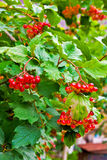 Close up of bunches of red berries of a Guelder rose or Viburnum Royalty Free Stock Photography
