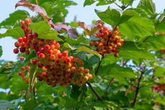 Close up of bunches of red berries of a Guelder rose or Viburnum Stock Images