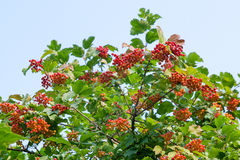 Close up of bunches of red berries of a Guelder rose or Viburnum Stock Photos