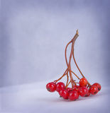 Close up of bunches of rowan berries Royalty Free Stock Images