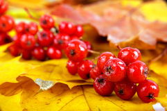 Close up of bunches of rowan berries Royalty Free Stock Photography