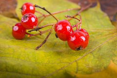 Close up of bunches of rowan berries Stock Photos
