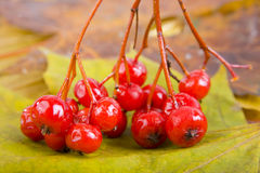 Close up of bunches of rowan berries Royalty Free Stock Image