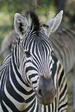 Close up of a Burchell's Zebra Stock Image