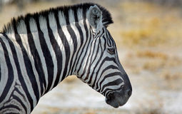 Close up of a Burchell Zebra head royalty free stock photo