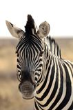 Close-up of a Burchells zebra Royalty Free Stock Photography