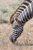 Close-up of a Burchells zebra grazing Royalty Free Stock Photo