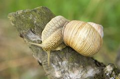 Close-up of burgundy snail Stock Images