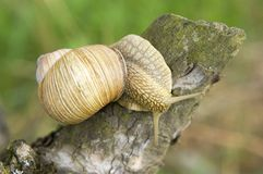 Close-up of burgundy snail Royalty Free Stock Photo