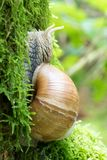 Close-up of a Burgundy snail on moss royalty free stock images