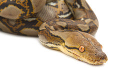 Close up of Burmese Python Royalty Free Stock Photography