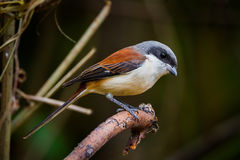 Close up of Burmese Shrike Stock Photo