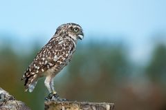 Close up of Burrowing Owl. (Athene cunicularia Royalty Free Stock Photo