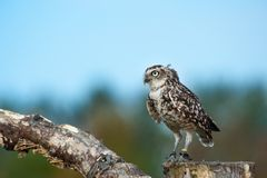 Close up of Burrowing Owl. (Athene cunicularia Stock Photography