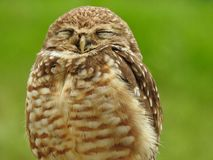 Close-up of a burrowing owl with closed eyes royalty free stock photos
