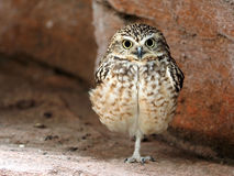 Close up of burrowing owl Stock Image