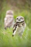 Burrowing Owl Stock Photos