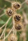 Close-up of Burrs in an Illinois Marsh. A close-up photo of some burrs found in a marsh in Illinois Stock Photo