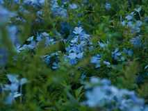 Close up of a bush blooming with blue velvet little flowers royalty free stock image