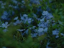 Close up of a bush blooming with blue velvet little flowers. In dark twilight stock images