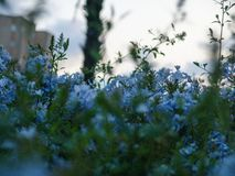 Close up of a bush blooming with blue velvet little flowers. In sunset with the sky blurred in the background stock image