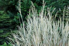 Close-up of a bush blue oat grass Helictotrichon sempervirens ne. Close-up of the bush blue oat grass Helictotrichon sempervirens near the alley with bluish royalty free stock image