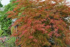 Close-up of a bush of decorative red maple Acer japonicum in the. Close-up of a bush of decorative red maple Acer japonicum used in the greenery of the foothills Royalty Free Stock Images