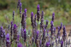 Lavender flower bush with green field in the background