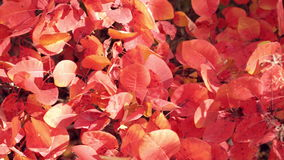 Close up of bush with red leaves. Dolly shot of idyllic autumn forest scenery slide left. Beautiful autumn colorfull. Close up of bush with red leaves. Dolly stock footage