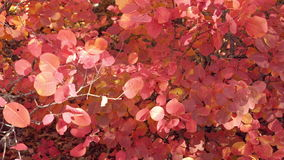 Close up of bush with red leaves. Dolly shot of idyllic autumn forest scenery slide right. Beautiful autumn colorfull. Close up of bush with red leaves. Dolly stock video footage