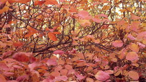 Close up of bush with red leaves. Dolly zoom shot of idyllic autumn forest scenery. Beautiful autumn colorfull forest. Close up of bush with red leaves. Dolly stock video