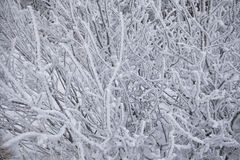 Close-up bushes covered with snow. Close-up winter bushes covered with fluffy snow crystals Stock Photos