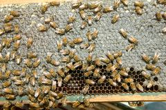 Close up of busy farmed bees on honeycomb panel Stock Images