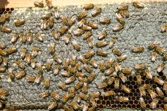 Close up of busy farmed bees on hive honeycomb Royalty Free Stock Photography