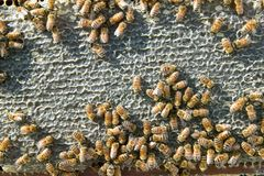 Farmed worker bees swarming on honeycomb panel Stock Photos