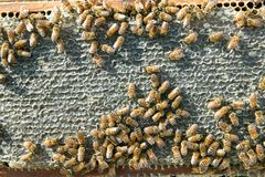 Busy worker bees on honeycomb panel on bee farm Stock Image