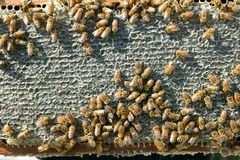 Close up of busy worker bees on honeycomb panel Royalty Free Stock Photos