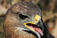 A close up of a Buteo head. With its beak open Royalty Free Stock Photo