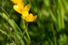 Close up of buttercups Stock Photos