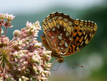 Close up of butterfly. A beautiful close up of a colorful butterfly perched on a milkweed flower in an open field Royalty Free Stock Photo