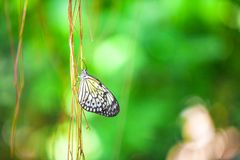Close up of a butterfly on branch with green Royalty Free Stock Images