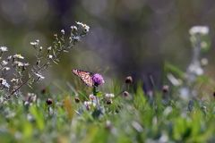 Close-Up of a Butterfly and a Flower. A close up of a monarch butterfly perched on a flower royalty free stock images