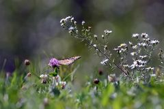 Close-Up of a Butterfly and a Flower. A close up of a monarch butterfly perched on a flower stock image