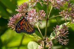 Close-Up of a Butterfly and a Flower. A close up of a monarch butterfly perched on a flower stock photos