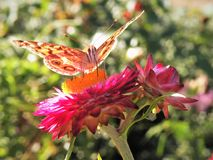 Close Up of Butterfly on Flower. Butterfly rests momentarily on a pink flower to drink nectar on a sunny day at a botanical garden Royalty Free Stock Photos