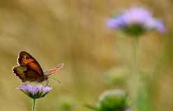 Butterfly on purple wildflower Stock Images