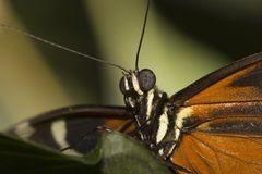 Close up on butterfly head. Macro image of butterfly head Royalty Free Stock Image