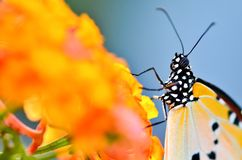 Close up butterfly on Lantana camara Royalty Free Stock Photo