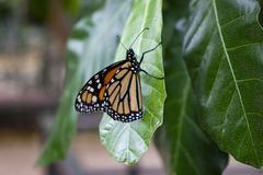 Close up of butterfly on a leaf. Close up of orange and black butterfly on a leaf stock photography